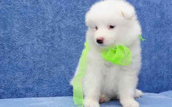 samoyed, собака, white