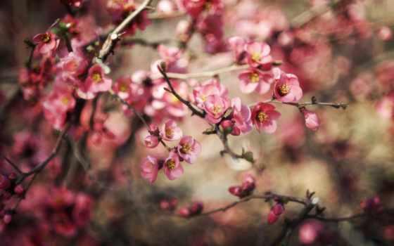 mùa, весна, cvety, природа, hành, цветение, ветви, размытость,