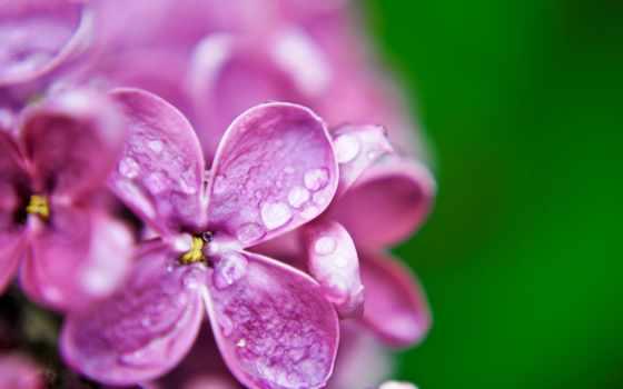 cvety, макро, сиреневый, purple, water, капли, роса, сирени, зелёный, широкоформатные,