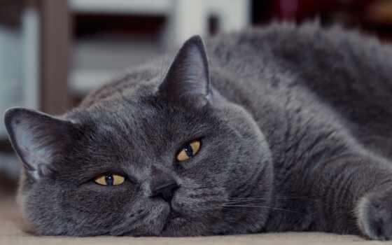 кот, britanec, british, глаз, black