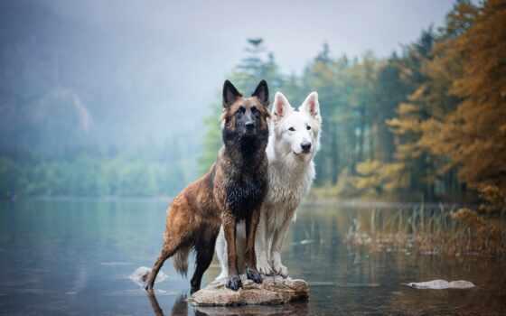 собака, овчарка, бельгийский, swiss, pet, animal, берег, осень, порода, два