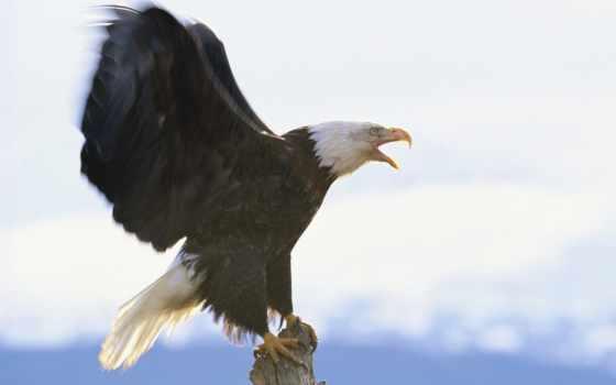 орлан, белоголовый Фон № 86994 разрешение 1600x1200