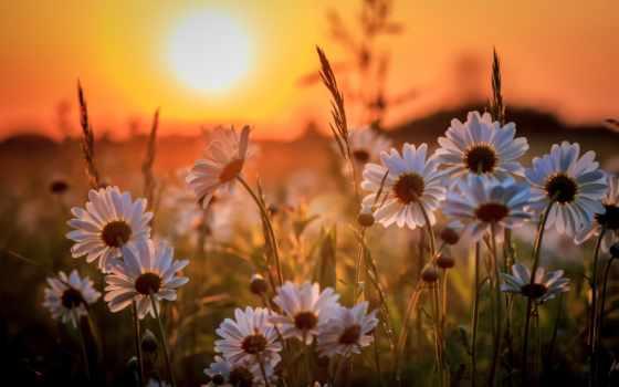 ромашки, cvety, sun