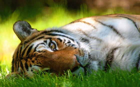 тигр, тигры, страница, zhivotnye, коллекция, лучшая, загружено, уже, browse, красивые,