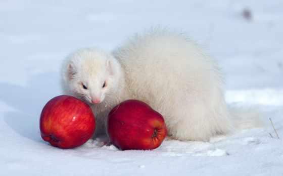 хорек, white, winter, ласка, белая, соболь, снег, ferrets, аватар,