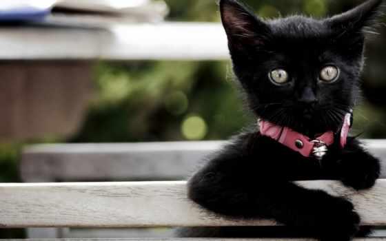 котенок, взгляд, black, ошейнике, розовом, desktop, free,