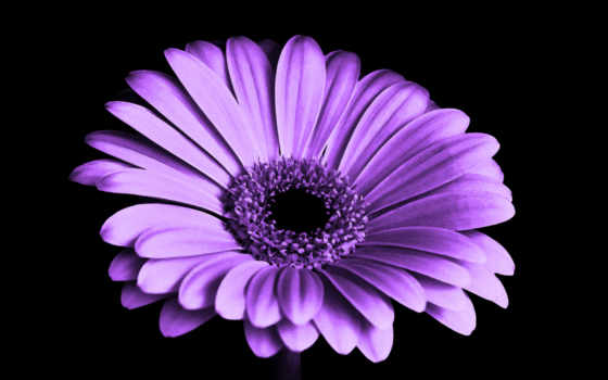 цветы, flowers, purple, daisy, free, white, сиреневый,