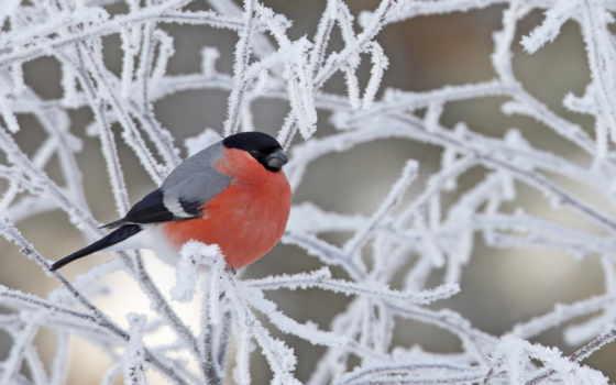 winter, красивый, trees, очень, postcard, снегирь, лес
