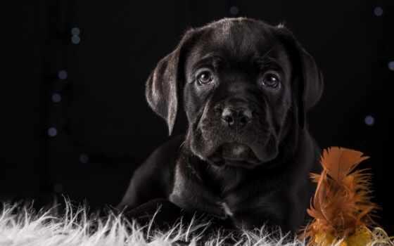cane, собака, щенок, black, kan