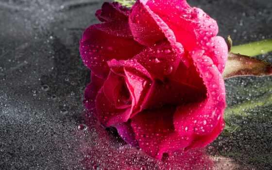 роза, samsing, cvety, galaxy, цветы, xper, sony, drop, розовый, взлёт