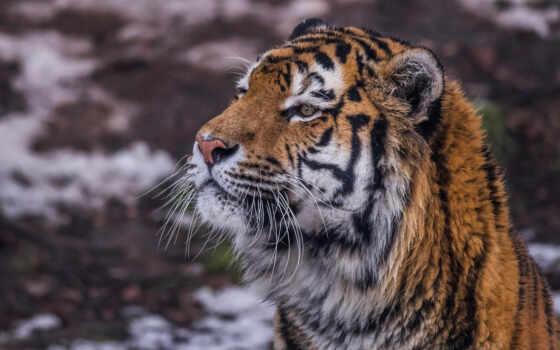 тигр, тигр, дикий, кот, портрет, lion, вектор, фото, морда, кошка, levyi
