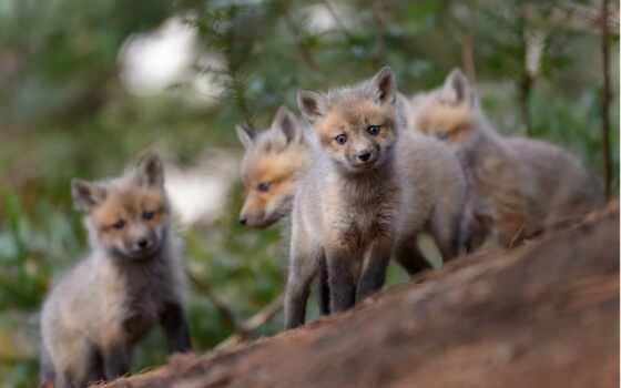фокс, animal, red, kemono, друг, outdoors, млекопитающее, природа, лес, тема