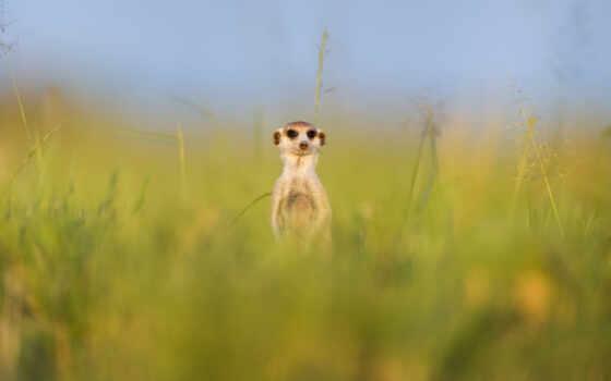 animal, funny, природа, surikat, трава, лапа, дружба, lucas, surikata, summer