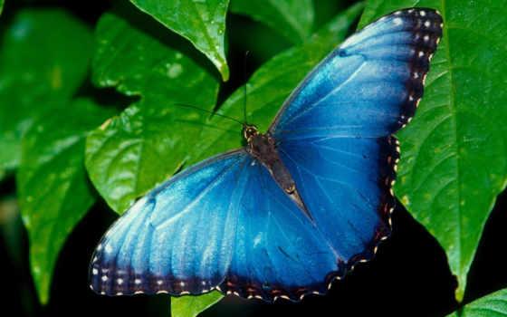 бабочка, синяя