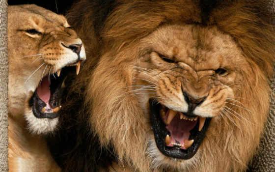 ухмылка, львы, льва