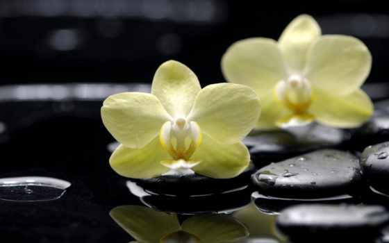 орхидеи, цветы, желтые