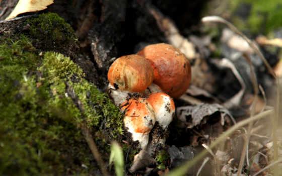 mushroom, free, full