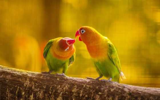 love, поцелуй, birds, попугай, free, kissing, пара,