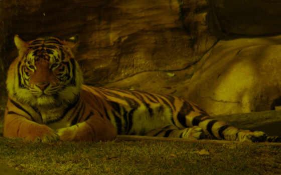 tiger, животные