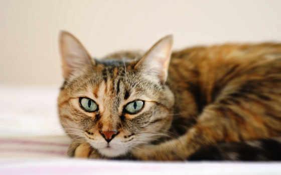 кошка, полосатый