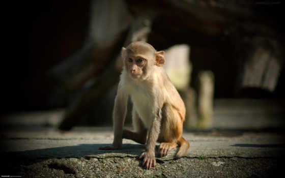 monkey, animals, small