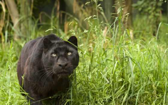 леопард, panther, stalking