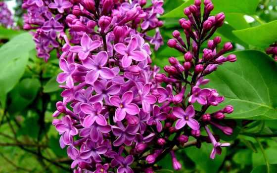 сиреневые, cvety, сиреневый, бесплатные, красивые, февр, смотрите, другие, цветок,