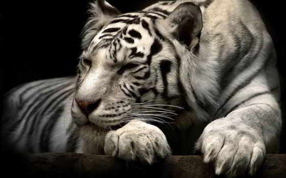 тигр, white, белые Фон № 107975 разрешение 1600x1200