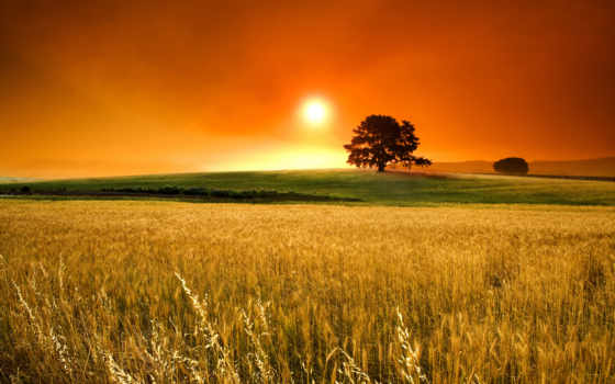 поле, пшеница, sun