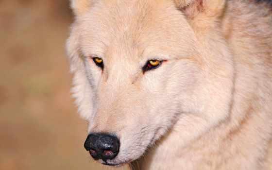 волк, нос, white, свет, волки,