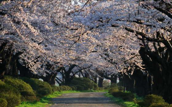 япония, flowers, cherry