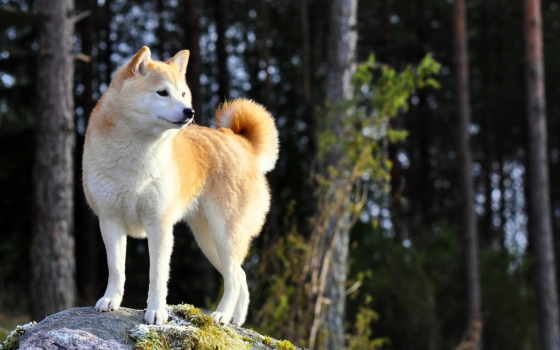 акита, shiba, собака, собак, собаки, stand, ipad, зооклуб,