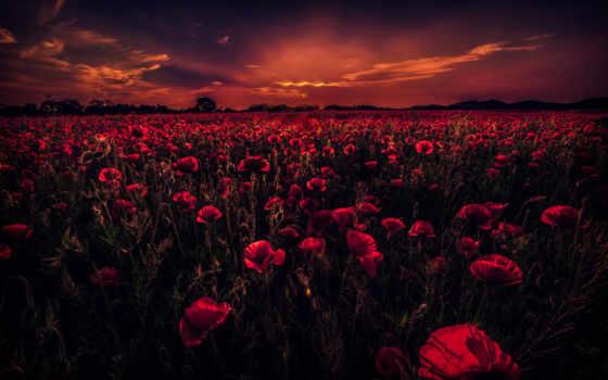 поле, poppy, desktop, закат, poppies, flowers, со,