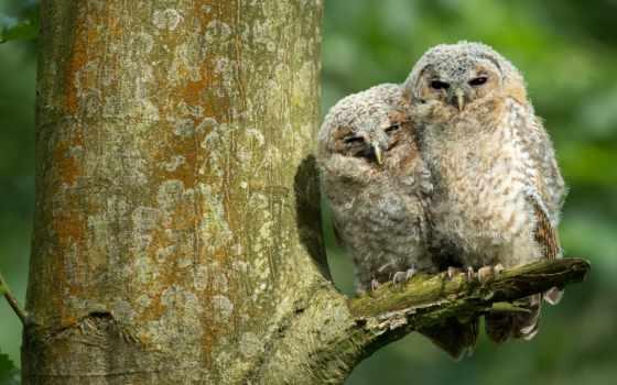 картинка, сова, дерево, birds, owls, птица, фон, два, ветви,