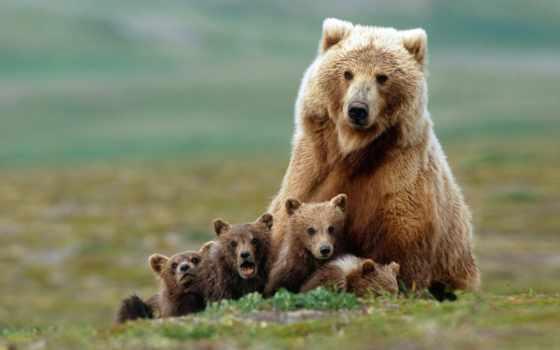 медведица, медведи, медвежата, семья, гризли,