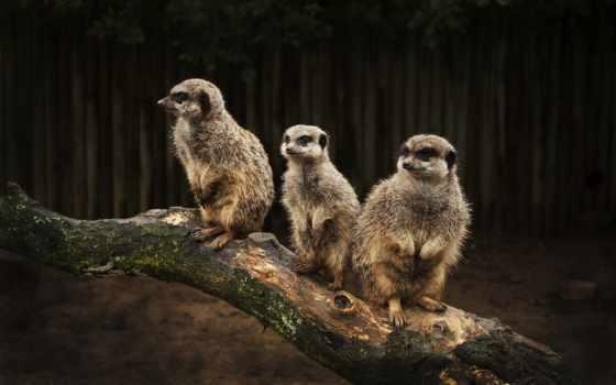 сурикаты, животные, семья Фон № 51270 разрешение 2560x1600