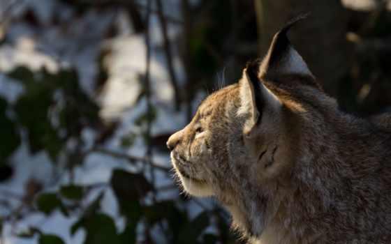рысь, зима, лес