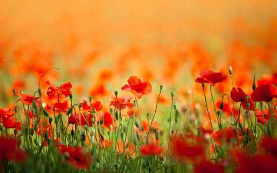 цветы, маки, природа