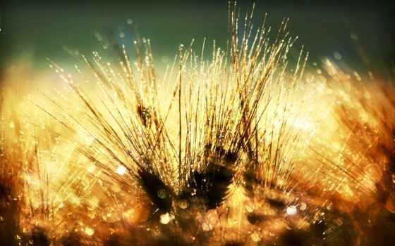 роса, утренняя, траве, cvety, травы, макро,