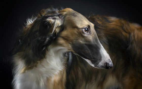 greyhound, русская, псовая, породы, собак, собаки, борзые, description, порода,