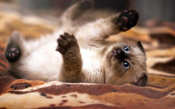 кот, лежит, котята, котенок, разных, сиамский, ложь, playful, покрывале,