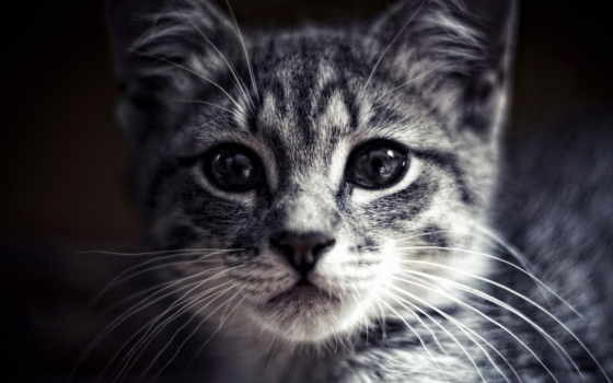 кошки, взгляд, glaza, нос, кот, zhivotnye, нужна, коты, смотрит, морда,