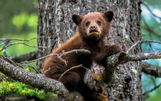 ecran, fond, gratuitement, télécharger, медведь