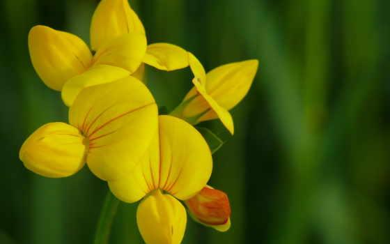 цветы, yellow, луговые