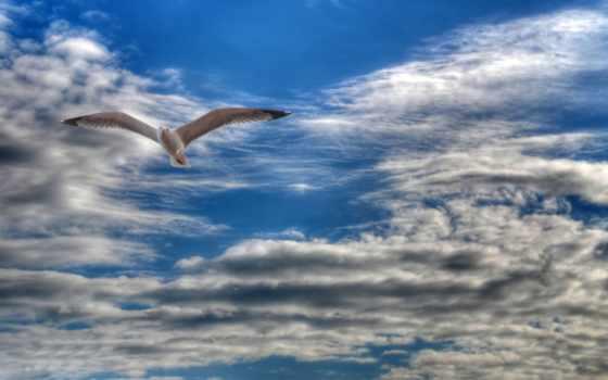 чайка, парящая, небе