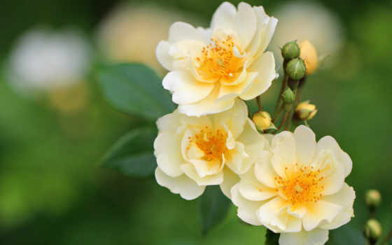 цветы, розы, красивые