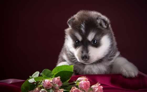 хаски, щенок, собаки