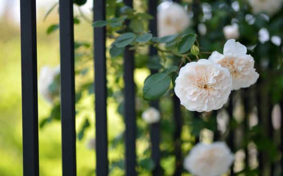 flowers, цветы, garden, лета, ароматы, дневник, забор, world, cvety,