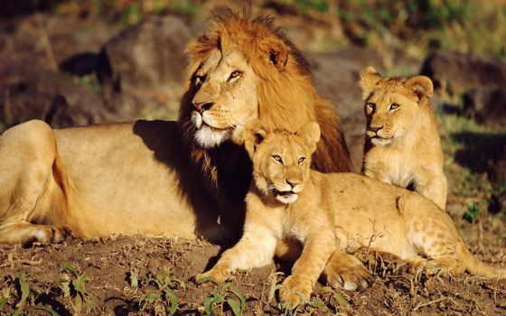 львы, семья, львів