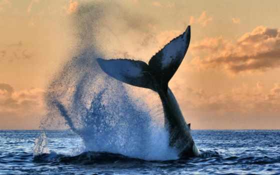 кит, британская, colombia, канада, humpback, oblaka, fish, ocean, космополитическ, common,